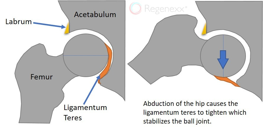 ligamentum teres function